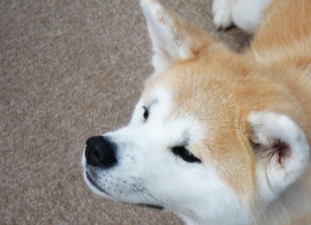 『秋田犬』の正しい読み方は?「あきたけん」と「あきたいぬ」どちらが正しいの?
